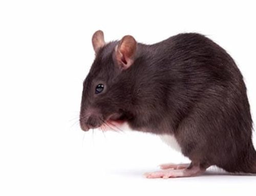 ¿Qué tipo de ratas/ratones son las más comunes?
