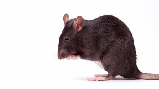 control de plagas mallorca ratas